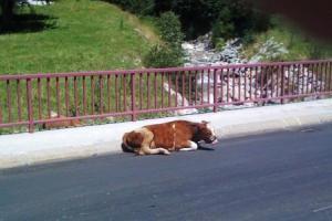Selbstmörderkuh oder einfach nur faule Kuh